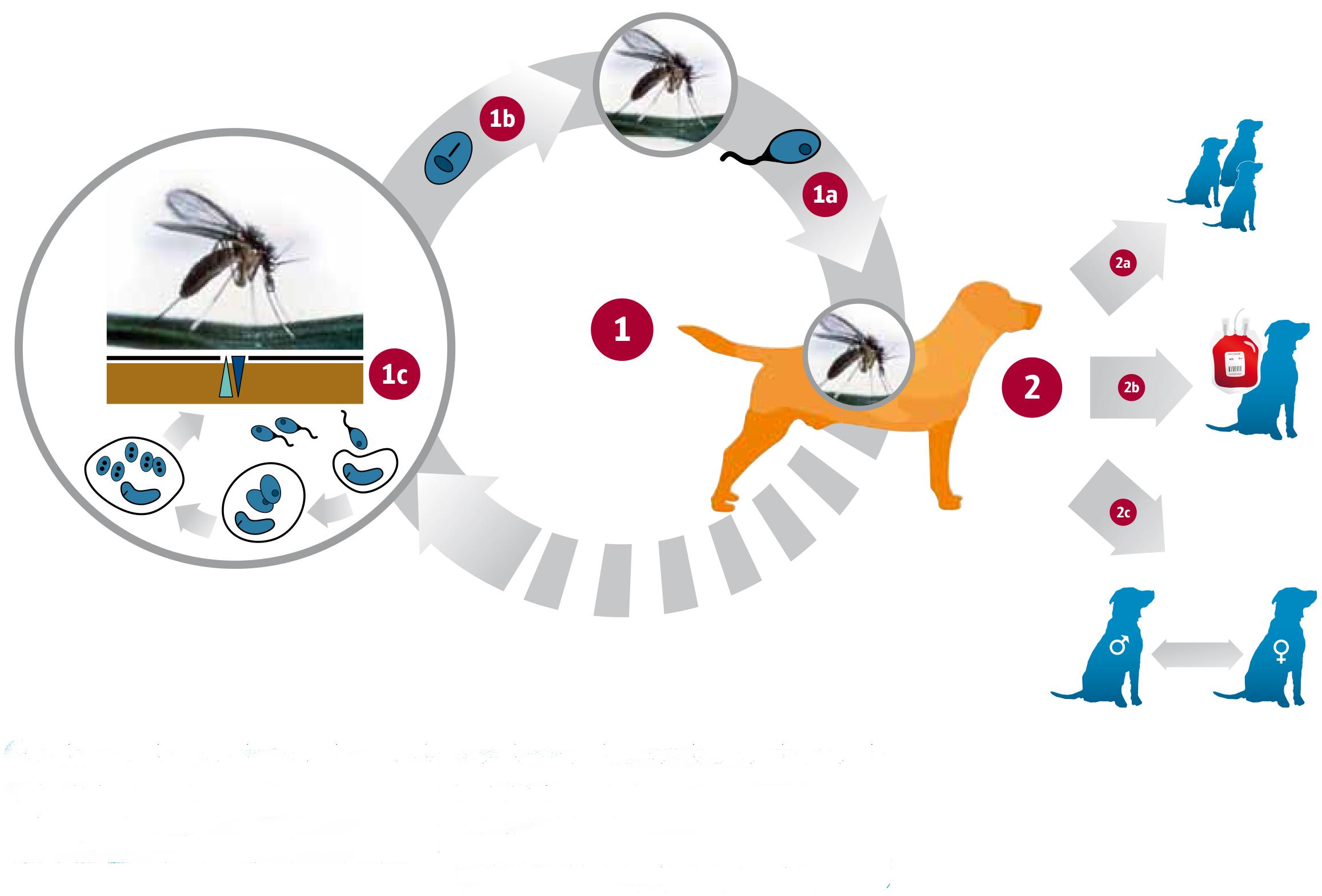 Imagen tomada de parasitesandvectors.biomedcentral.com